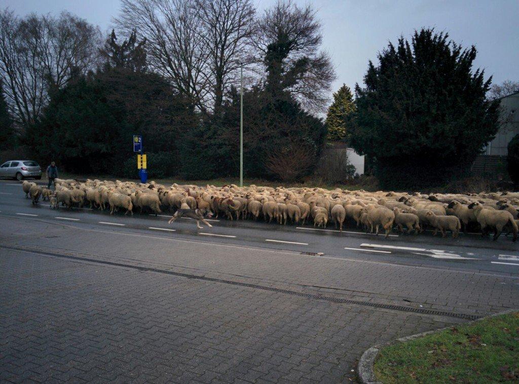 Schafe Freisenbruch